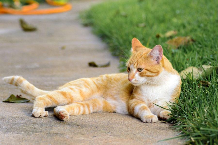 Gato Vira-lata dentado no quintal