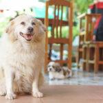 Cachorro obeso sorridente na sala de casa