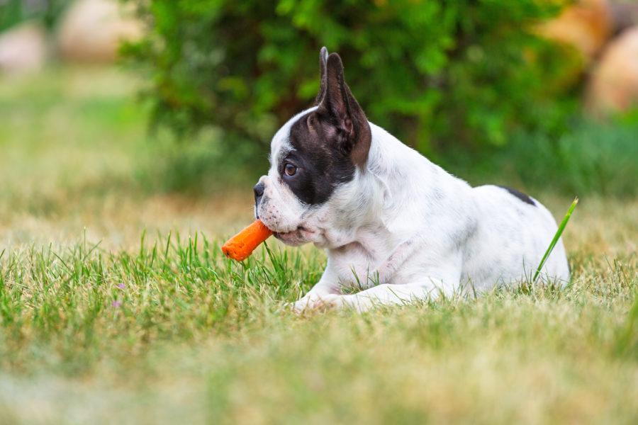 Cachorro na grama com cenoura na boca, uma parte da alimentação saudável