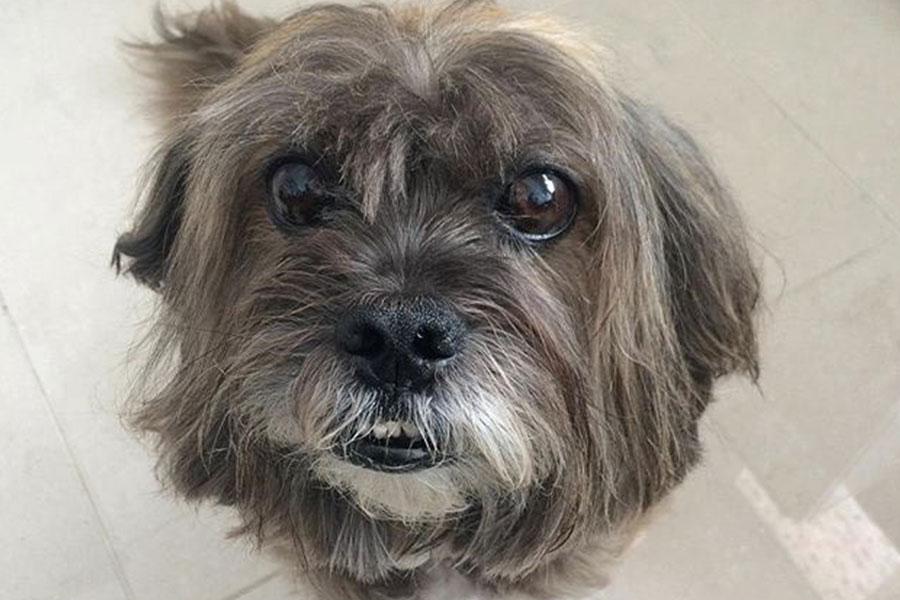 Vista de cima de cachorro com Síndrome da Disfunção Cognitiva
