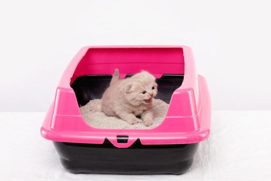 Gato filhote usando sua caixa de areia rosa