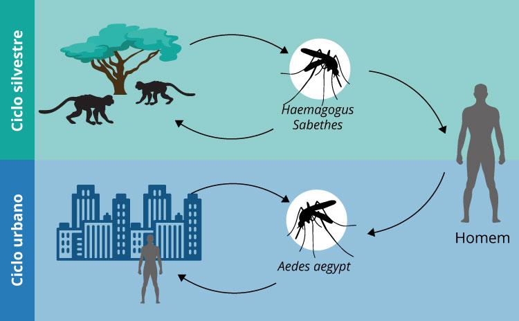 Figura representativa do clico urbano e ciclo silvestre da transmissão da febre amarela.