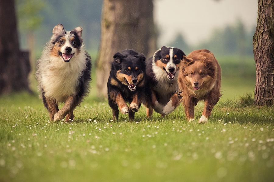 4 cães de raça correndo felizes na grama