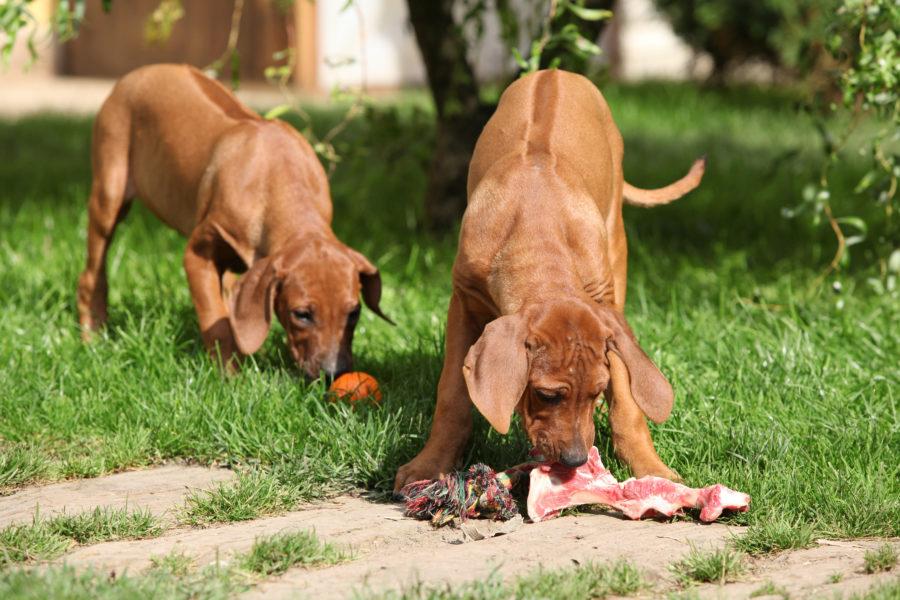 Cachorro comendo carne, um alimento da dieta cetogênica