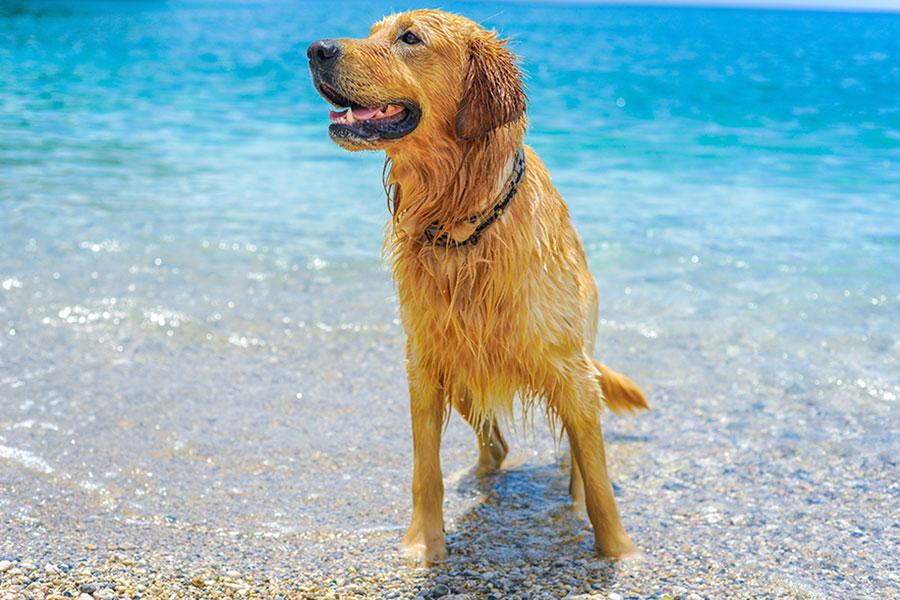 Cachorro molhado saindo da água para representar a dirfilariose