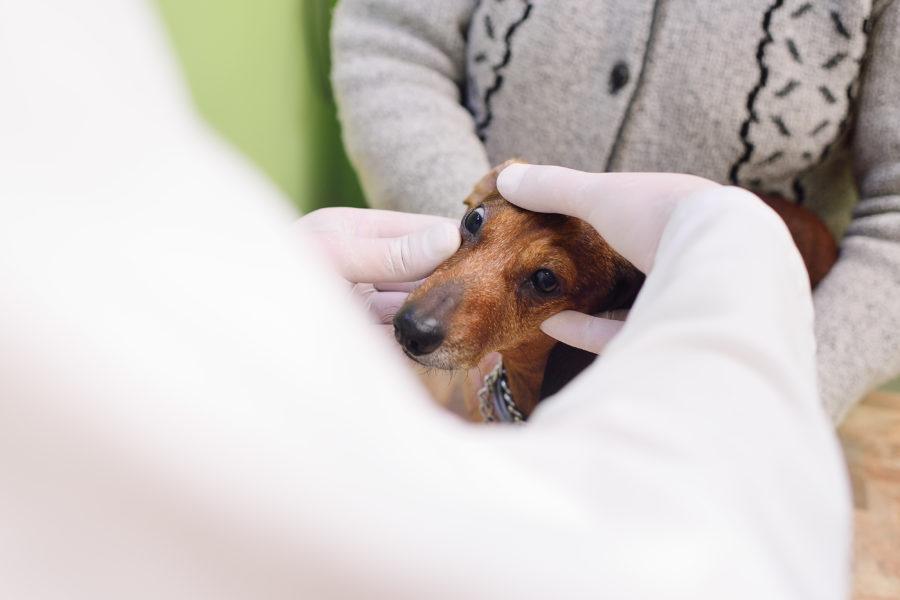 Médico veterinário examinando o olho de um cachorro