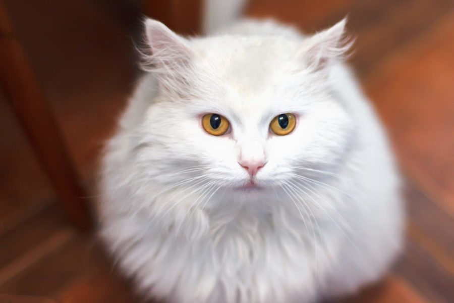 Especial raças: tudo sobre o gato angorá