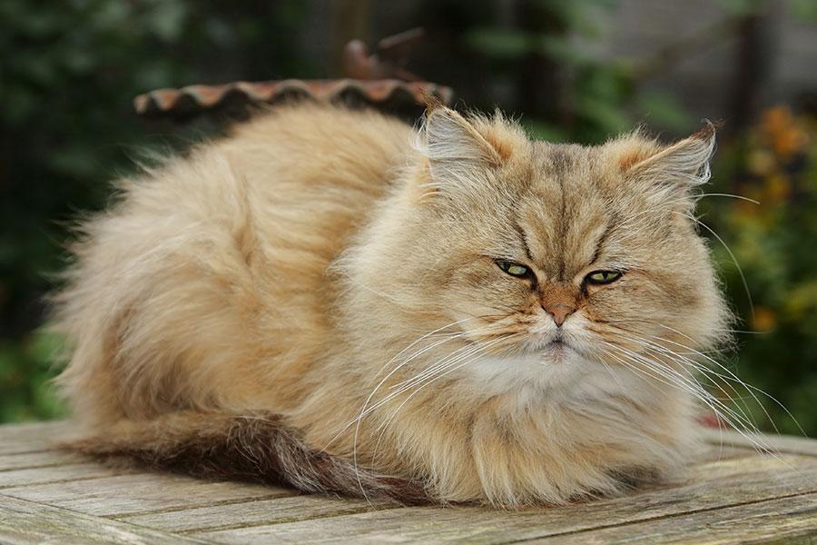 Gato persa laranja deitado em um chão de madeira ao ar livre