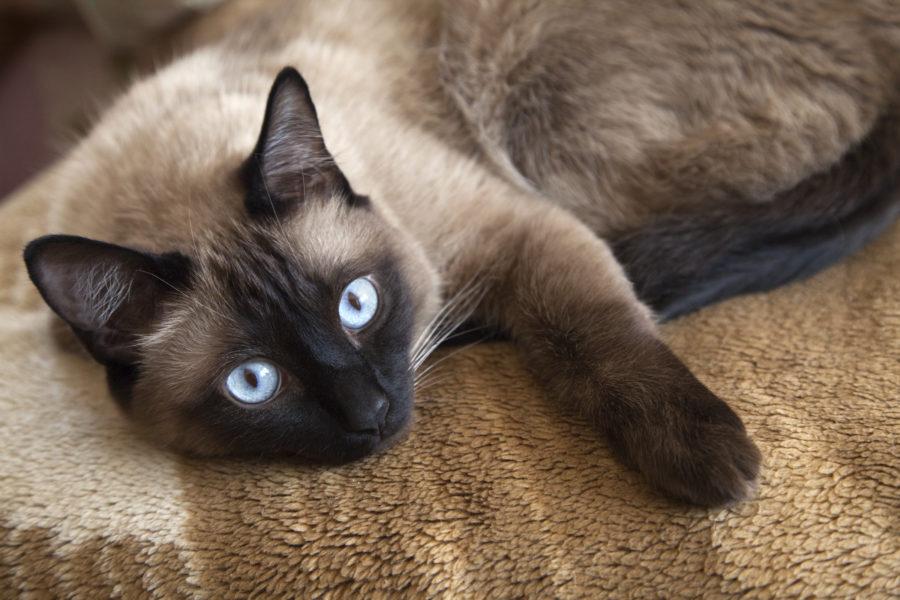 Gato Siamês deitado em um tapete
