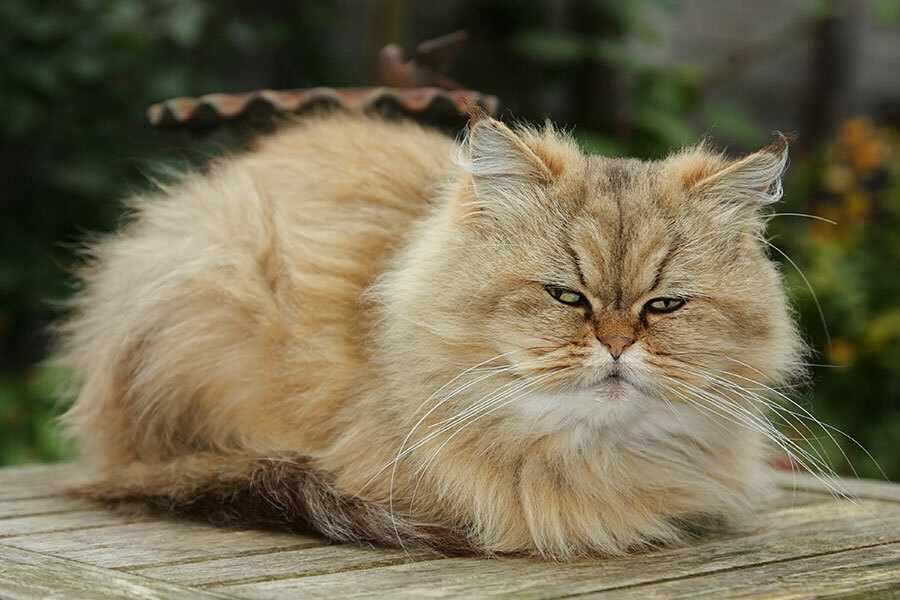 Especial raças: tudo sobre o gato Persa