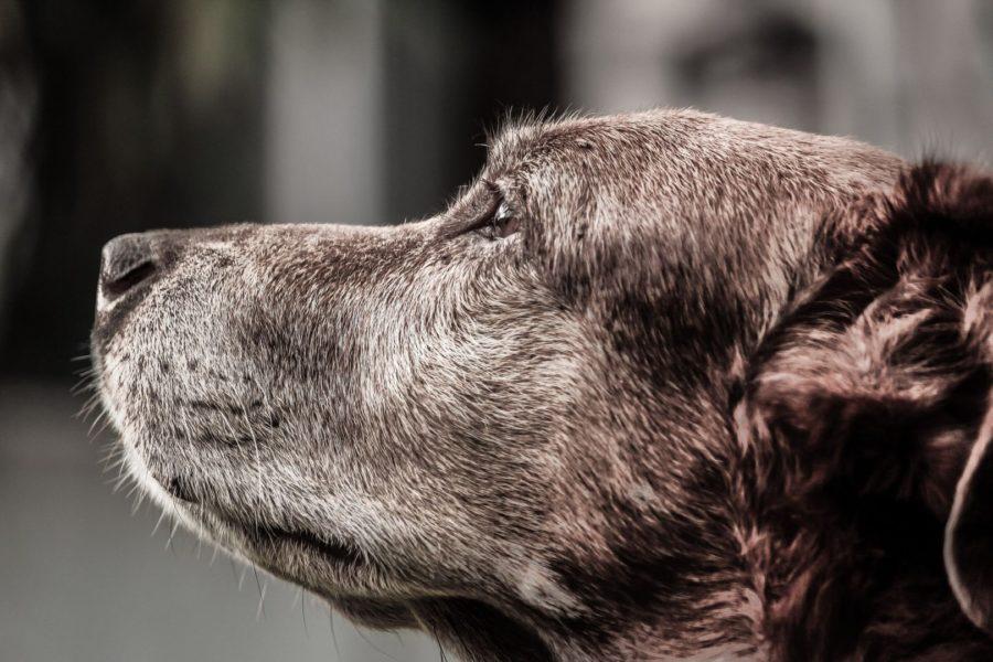 Demência em cães: quais suas causas e formas de prevenção?