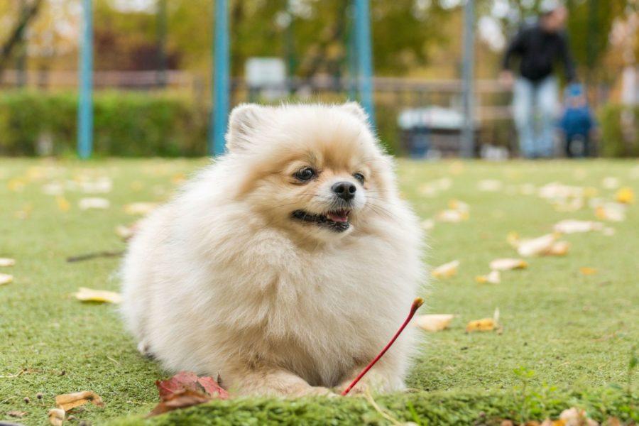 Cachorro Spitz Alemão deitado na grama