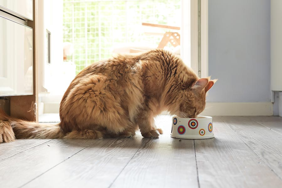 Gato comendo alimentação natural no pote
