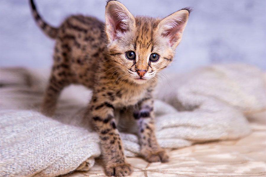 Especial raças: tudo sobre o gato Ashera