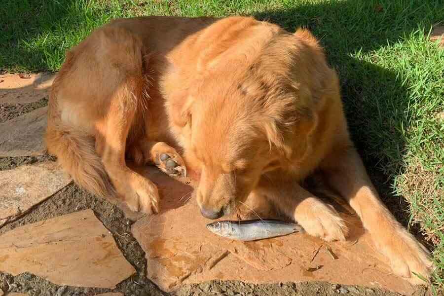 Cachorro, ao ar livre, comendo sardinha, um dos tipos de carnes na alimentação natural canina
