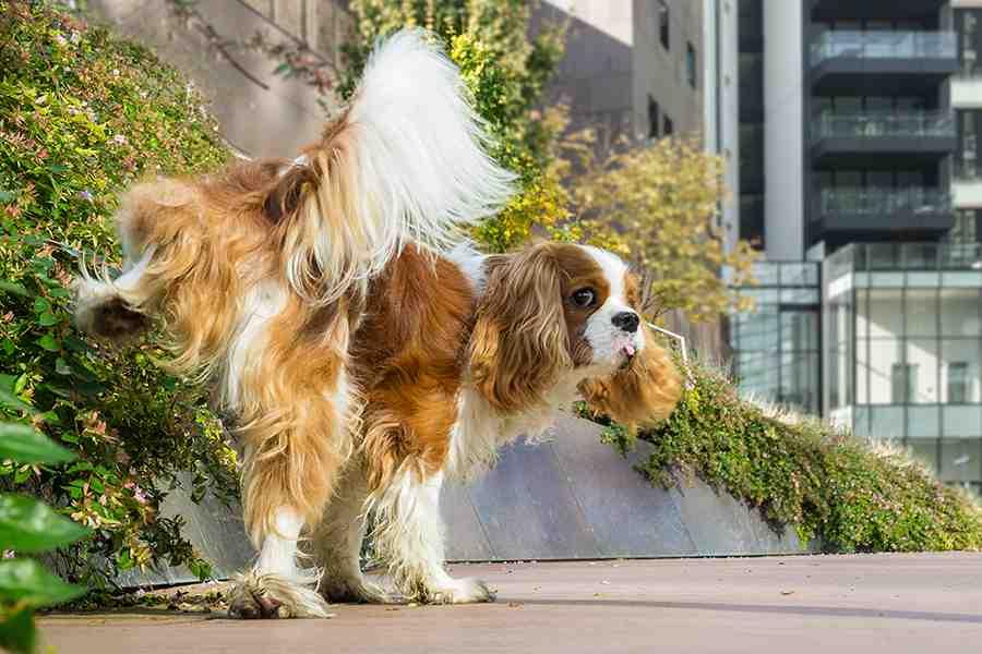 Cachorro fazendo xixi no muro com grama